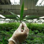 industria marihuana