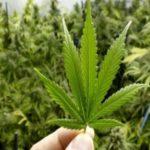 jujuy cannabis